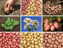 Accumulazione delle patate Fotografia Stock