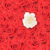 Accumulazione delle rose rosse con un bianco Fotografia Stock
