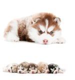 Accumulazione di piccolo cucciolo Fotografia Stock Libera da Diritti
