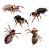 Accumulazione di salto del ragno Immagine Stock Libera da Diritti