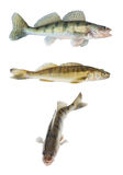 Accumulazione differente del pikeperch o dello zander isolata Fotografie Stock