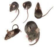Accumulazione nazionale del mouse Fotografie Stock