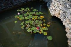 Accumulez avec des carpes de koi et des protections de lis, fleurs de lotus Photo stock