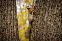 Accumulez manger la noix sur un arbre en parc Photo stock