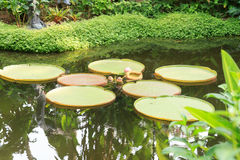 Accumuli con le ninfee e le palme nei giardini botanici di Singapore Fotografia Stock