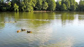 Accumuli con molte anatre che nuotano su un'acqua video d archivio