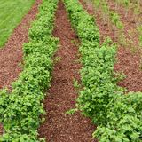 Accurate rows of currant bush seedlings Stock Images
