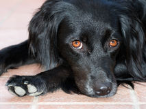 Accusing dog eyes - pet black dog watching, alert. Royalty Free Stock Photo