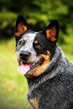 ACD Australian cattle dog Royalty Free Stock Photography