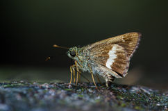 Ace Largo-congregado nombrado mariposa imagen de archivo