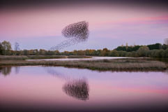 Ace of Spades Murmuration Stock Photography