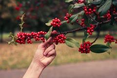 Acebo de la cosecha de la mujer joven Foto de archivo