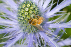 Acebo de mar con la abeja en cierre para arriba Fotos de archivo