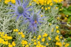 Acebo de mar con la abeja en jardín seco Fotografía de archivo libre de regalías
