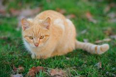 Acecho del gato Imagenes de archivo