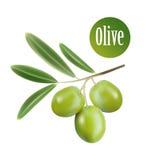 Aceite de oliva del vector Rama de olivo decorativa para stock de ilustración