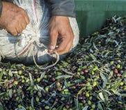 Aceite y aceitunas Cilento Campania Aquara (él) Oliv virginal adicional Fotos de archivo