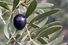 Aceituna en árbol - negro Imagenes de archivo