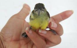 Aceituna-movió hacia atrás Sunbird Foto de archivo