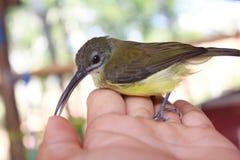 Aceituna-movió hacia atrás Sunbird Fotografía de archivo libre de regalías