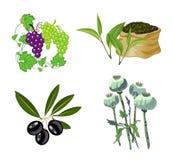 Aceituna, uva, té, amapola de opio Imagenes de archivo