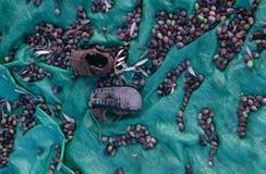 Aceitunas cosechadas en Palestina. Foto de archivo