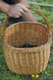 Aceitunas cosechadas en una cesta Imagen de archivo libre de regalías