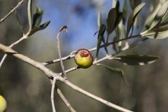 Aceitunas dañadas por la enfermedad de Olive Fruit Fly y del Medfly Imagenes de archivo