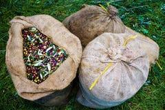 Aceitunas de Koroneiki cosechadas y recogidas en sacos fotografía de archivo