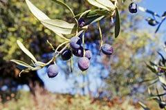 Aceitunas de Koroneiki en el olivo en Kalamata, Grecia foto de archivo