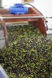 Aceitunas de la producción de aceite de oliva, negras y verdes en la cosecha Imagenes de archivo