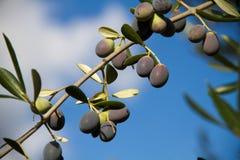 Aceitunas en árbol Imagen de archivo libre de regalías