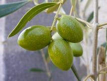 Aceitunas en árbol - verde Imagen de archivo libre de regalías