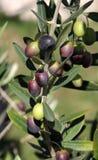 Aceitunas en el árbol Foto de archivo libre de regalías