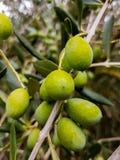 Aceitunas en el olivo imágenes de archivo libres de regalías