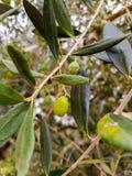Aceitunas en el olivo foto de archivo libre de regalías