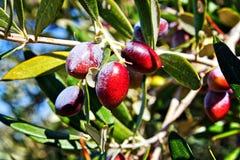 Aceitunas en el olivo, variedad de Koroneiki imágenes de archivo libres de regalías