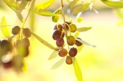Aceitunas en un árbol Fotos de archivo
