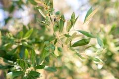 Aceitunas en un árbol en Grecia Fotos de archivo libres de regalías