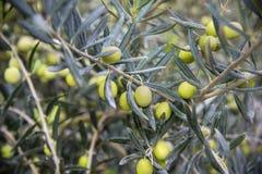 Aceitunas en una ramificación Aceitunas verdes del primer en un árbol imágenes de archivo libres de regalías