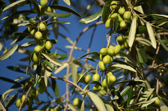 Aceitunas frescas Foto de archivo