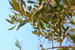 Aceitunas griegas. imagenes de archivo