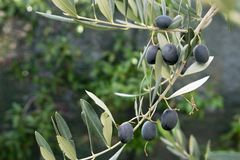 Aceitunas maduras hermosas en rama de árbol foto de archivo libre de regalías