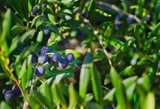 Aceitunas negras frescas sobre ramas en un día soleado fotografía de archivo