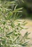 Aceitunas, olivo Foto de archivo