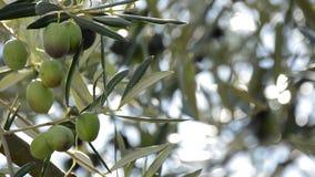 Aceitunas que cuelgan en la rama en olivo en la puesta del sol