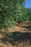 Aceitunas que maduran en el sol caliente del verano Fotografía de archivo