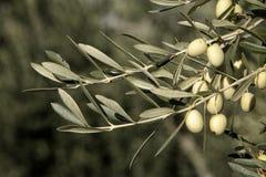 Aceitunas verdes en la rama con las hojas, Jaén, España Imagenes de archivo