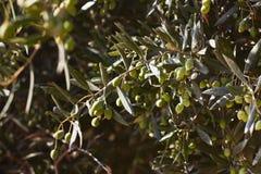 Aceitunas verdes en rama de árbol fotografía de archivo