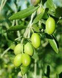 Aceitunas verdes en un árbol Fotos de archivo